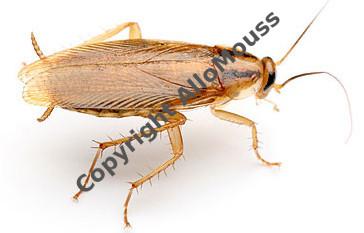 les insectes rencontr s dans et autour des habitations en belgique d ratiseur bruxelles. Black Bedroom Furniture Sets. Home Design Ideas